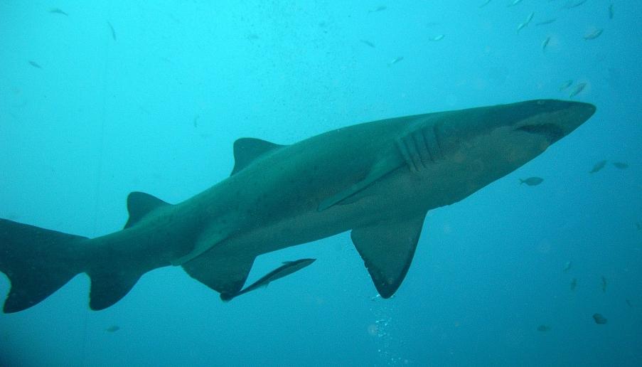shark-1367473